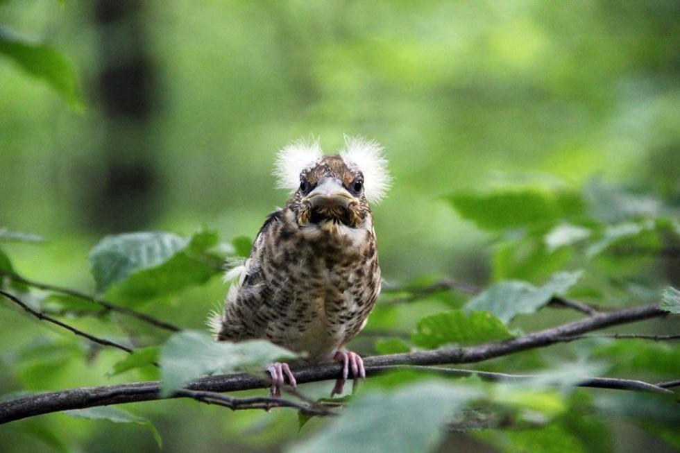 Пташеня костогриза (дубоноса)