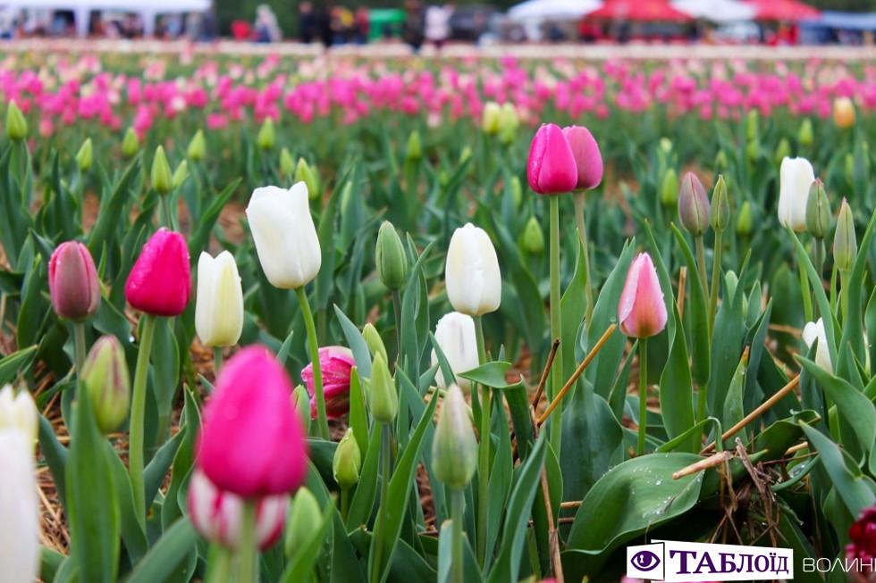 Тюльпани «Волинської Голландії»