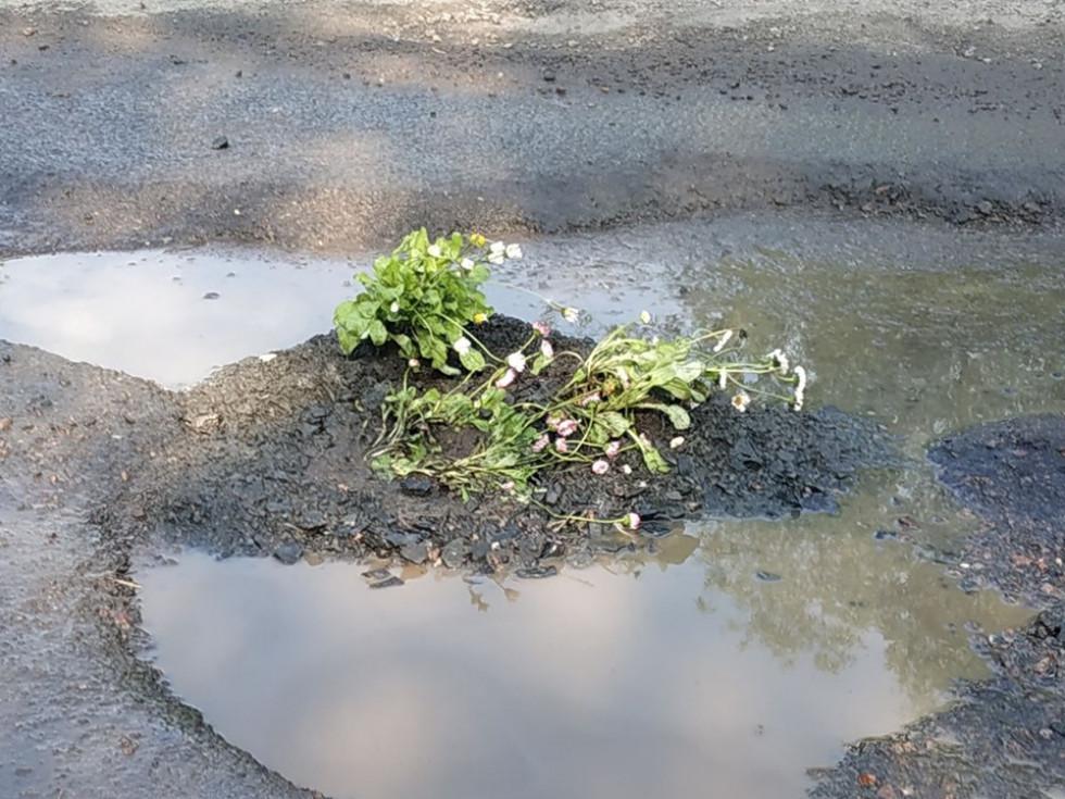 У Луцьку посадили квіти в... асфальті
