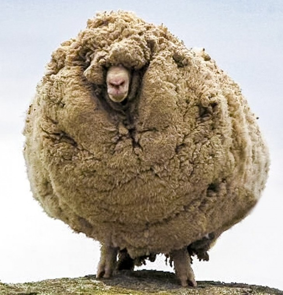 Вівця, яку не стригли 6 років