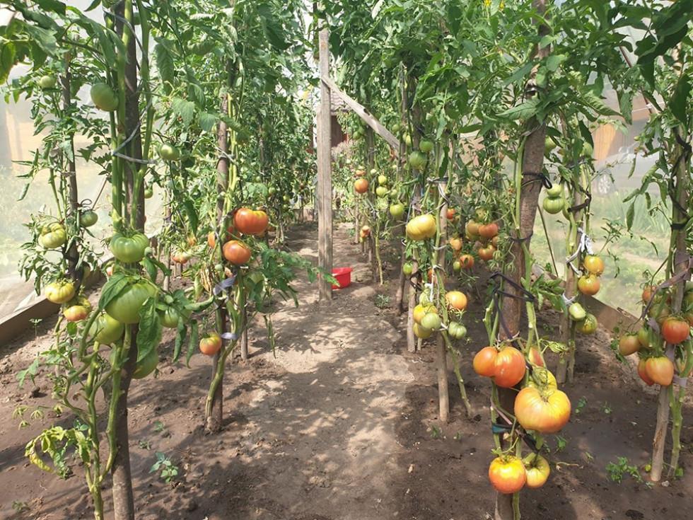 Ректор волинського вишу похизувався своїми помідорами