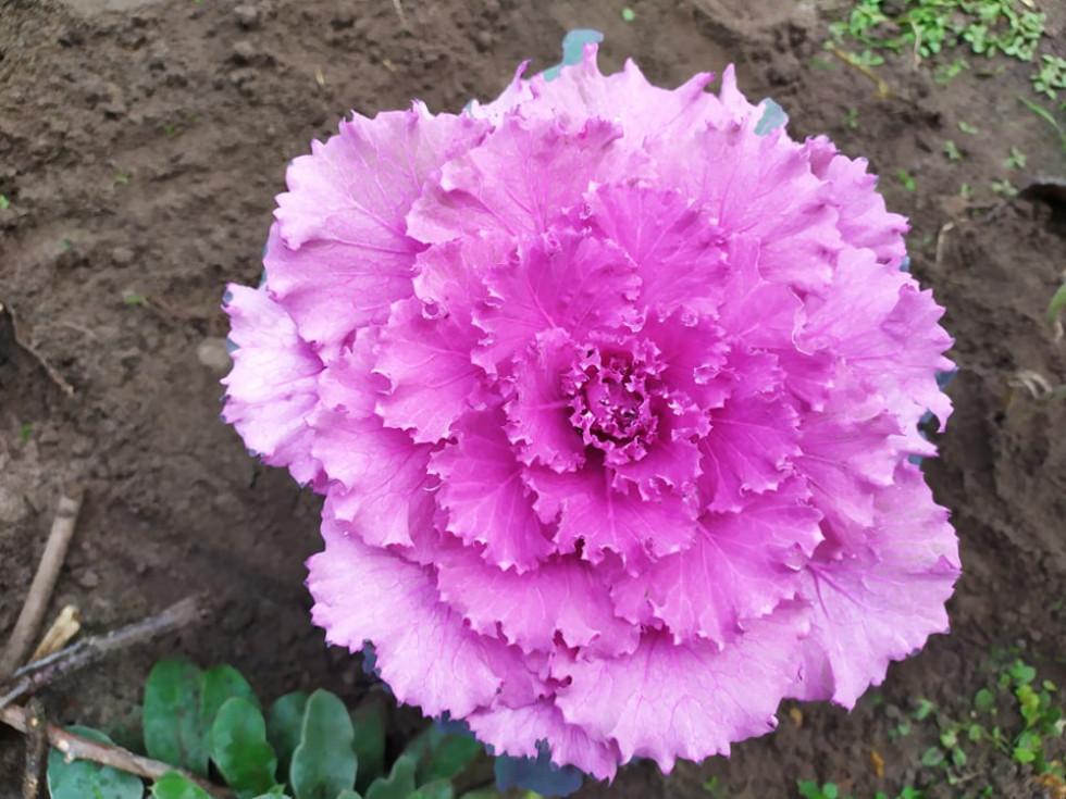 Рожева чи фіолетова?