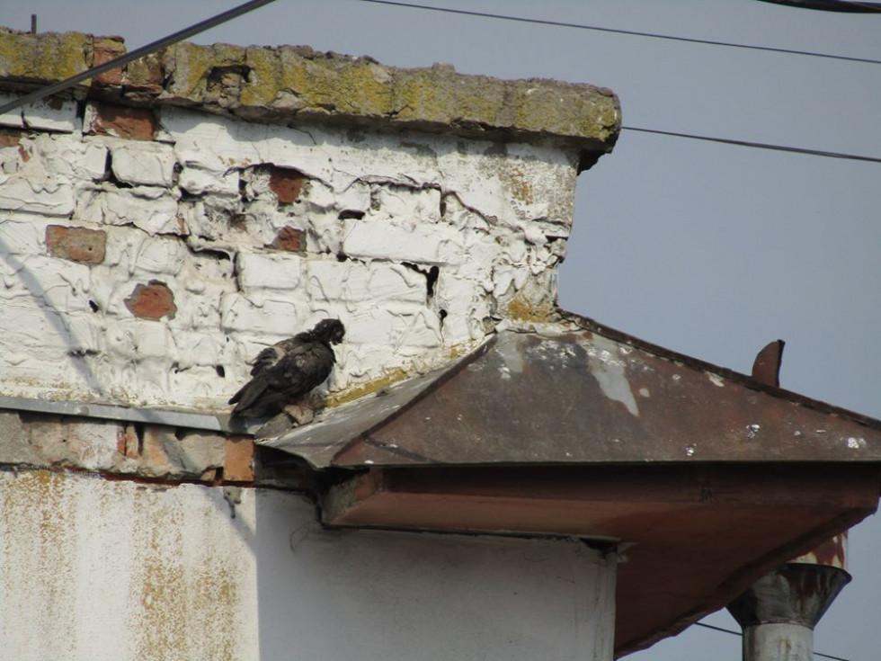Сині, сірі, помаранчеві: показали незвичних птахів Луцька. ФОТО