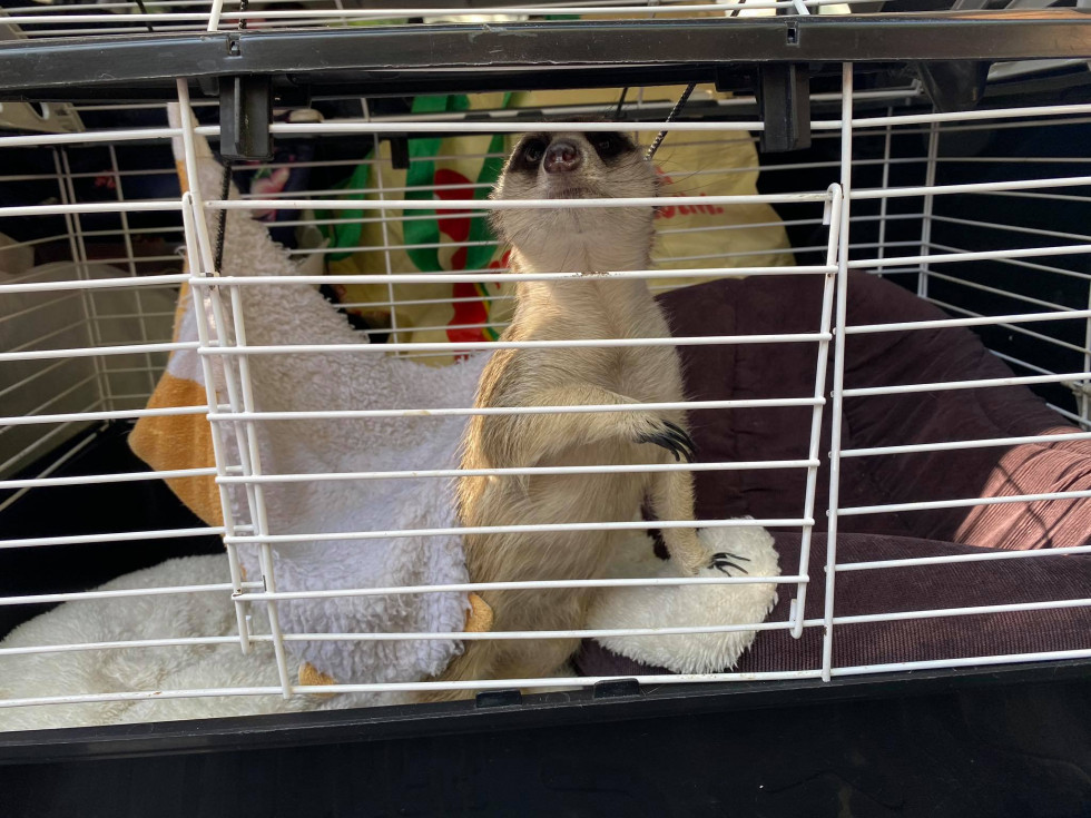Сурикат – новий мешканець Луцького зоопарку
